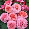 Aloha Potted UK Rose