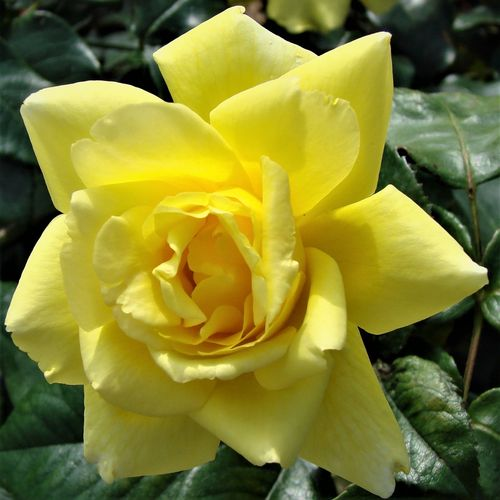 Golden Showers UK Rose