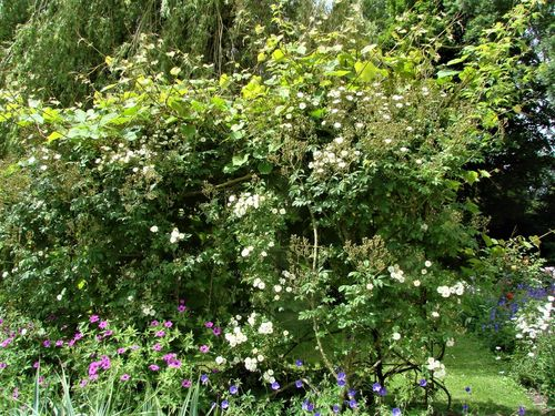 Rambling Rector Potted UK Rose