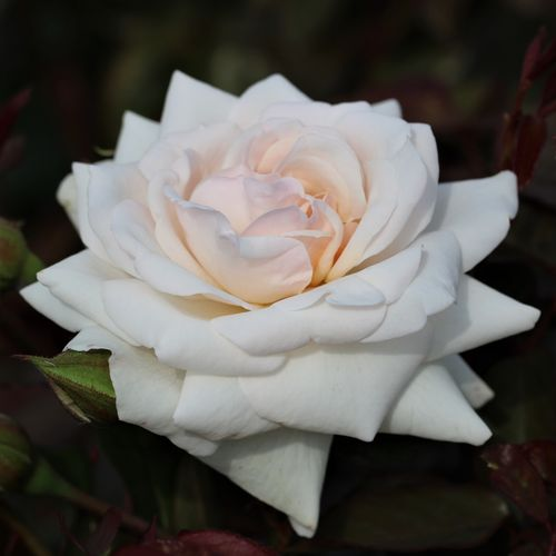 Swan Lake UK Rose