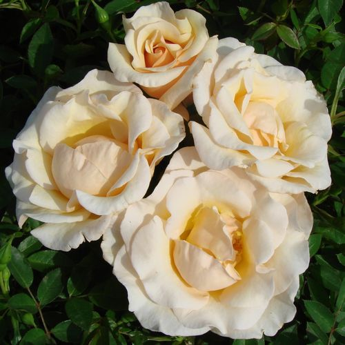 The Diamond Wedding Rose