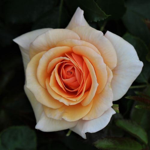 Sweet Honey Floribunda  Rose