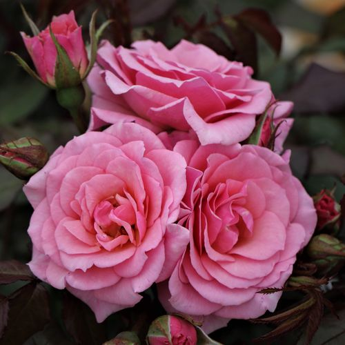 Delightful Potted UK Rose